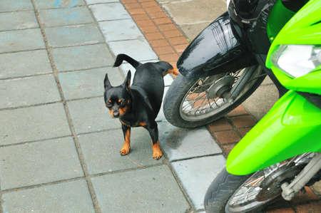 pis: Una miniatura pinscher perro orina en la rueda de una motocicleta