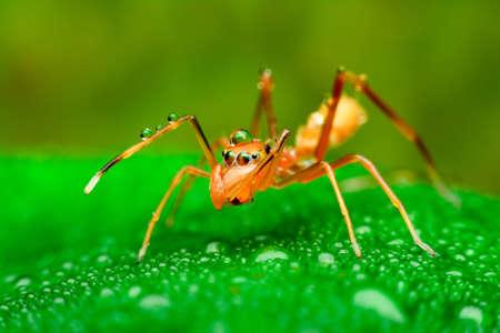 hormiga hoja: araña roja imitador de la hormiga sea la araña salta de una especie, al tener el carácter se asemeja a la hormiga roja, vivir una cuna sigue una hoja