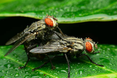 housefly: the reproduction of a housefly , the back it rains
