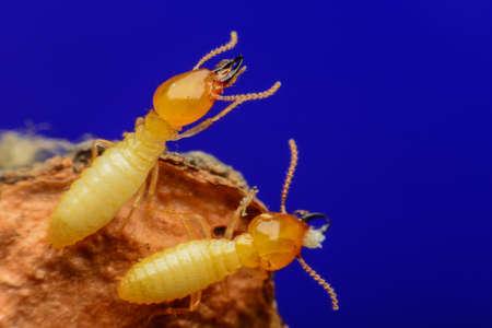 brushwood: Termites on brushwood