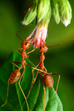 red ant: Red ants helped pull flowers