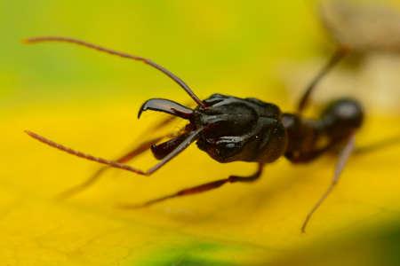 hormiga hoja: hormiga negro en la hoja amarilla Foto de archivo