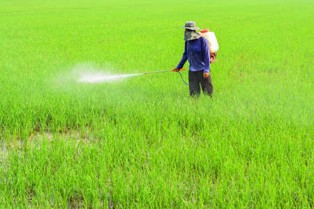 spraying: Farmer spraying pesticide on rice field