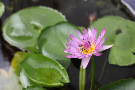 Water lily in the pond  Lotus