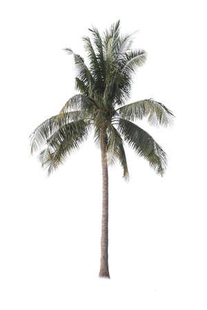 bark of palm tree: Coconut palm tree isolated on white background Stock Photo