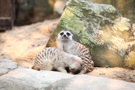 Meerkat in a Zoo,Bangkok Thailand.