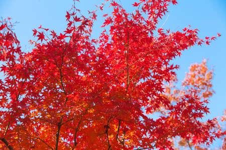 Beautiful autumn leaves and blue sky (maple leavesMomiji)