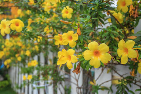 Allamanda, yellow flower  photo