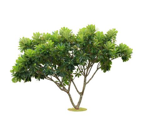Plumeria ,Frangipani trees isolated , add Clipping path  photo