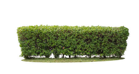 green hedge on isolated