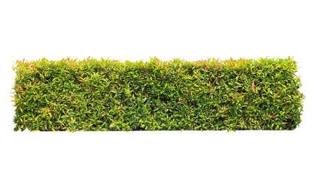groene haag of Green Leaves muur op geïsoleerde, voeg Clipping pad Stockfoto