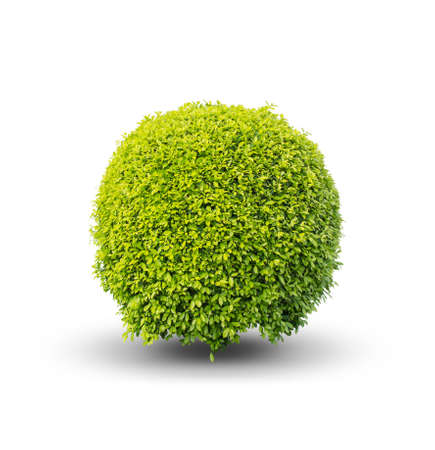 Green bush on a white background .isolated - Clipping path