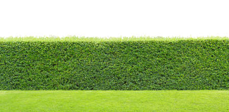 green hedge or Green Leaves Wall on isolated photo