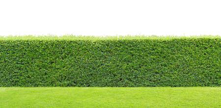 groene haag of groene bladeren muur op geïsoleerde