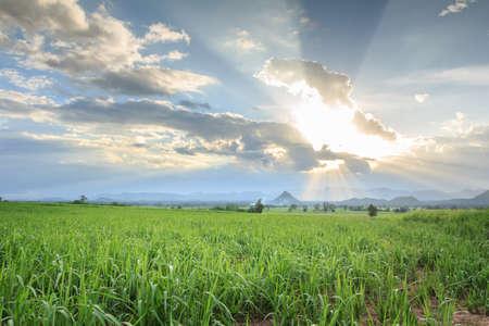 sugarcane: Sugarcane  field Stock Photo