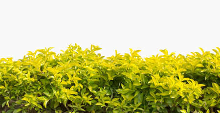hedge  isolated  photo