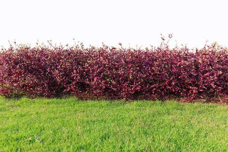 purple bush isolated on white background photo