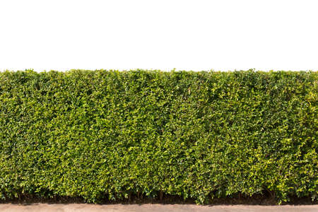 green hedge or green bush isolated on white background Фото со стока