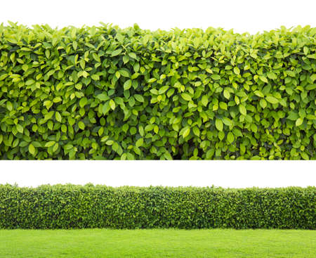 wood fences: green hedge or Green Leaves Wall on isolated