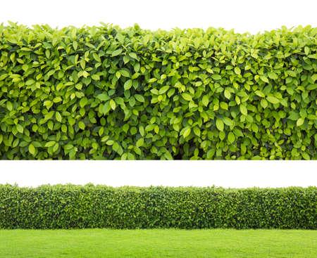 groene haag of groene bladeren muur op geïsoleerde Stockfoto
