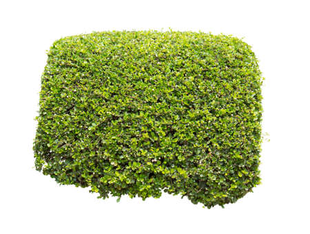 whitern: Green bush on a white background .isolated - Clipping path