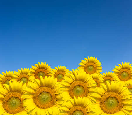 efflorescence: sunflowers and blue sky Stock Photo