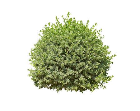 arbusto verde aislado en el fondo blanco