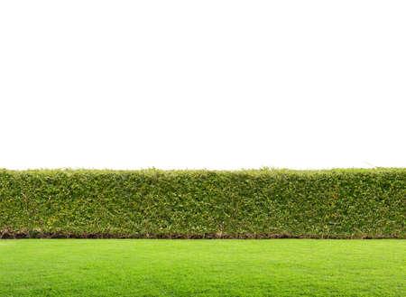 geïsoleerd groene haag Stockfoto