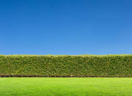 hedge: hedge and blue sky