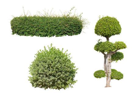ornamental bush: bush on white background  isolated Stock Photo