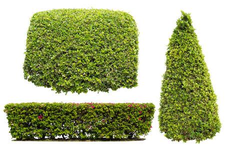 buisson: Bush sur fond blanc, isolé