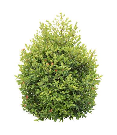 ornamental bush: green bush isolated on white background Stock Photo