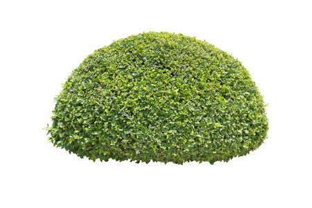 green bush isolated on white background 写真素材