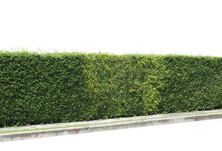 Groene haag of Green Leaves muur op geïsoleerde Stockfoto