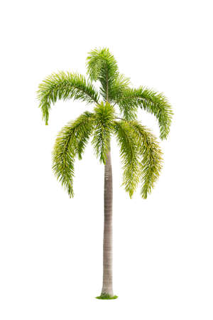 Palm tree isolated,Objects with Clipping Paths