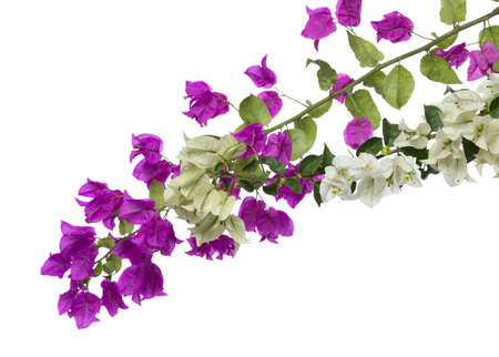 bougainvilleas isolated Stock Photo