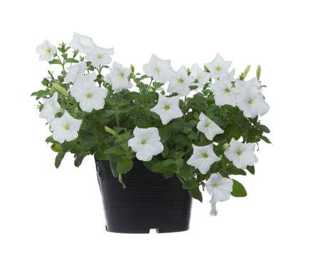 petunia on white background