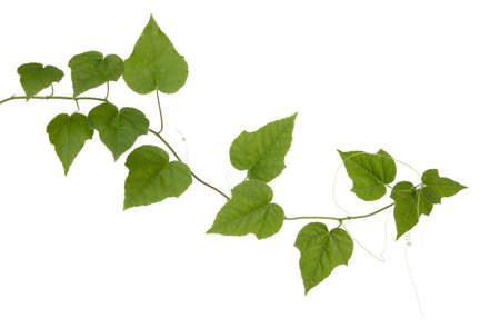 Ivy Gourd isolated on white background Banque d'images