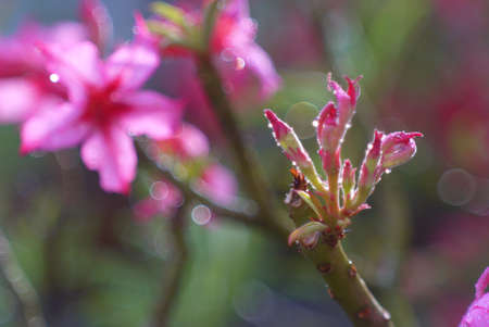 Adenium obesum (Desert Rose; Impala Lily; Mock Azalea)  Stock Photo - 25928331