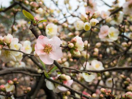 japanese apricot flower: Prunus mume, Japanese apricot flower plum blossom