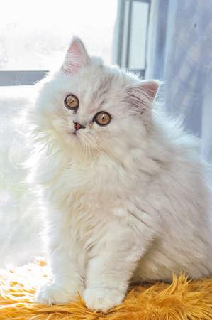 persian chinchilla kitten