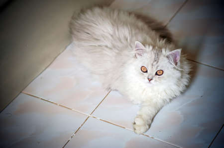 fluffy persian cat laying on the floor photo