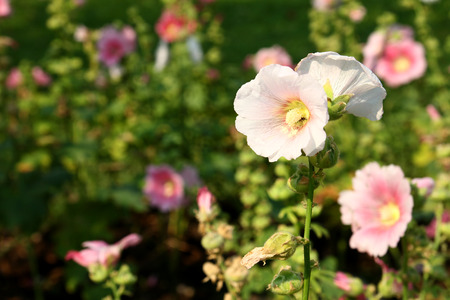 hollyhock: Pink Hollyhock in the garden Stock Photo
