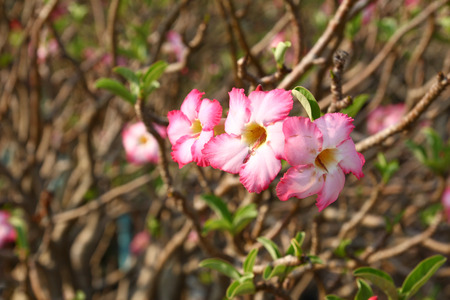 adenium: Beautiful pink flower (Adenium obesum) Stock Photo