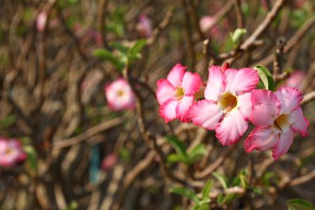 obesum: Beautiful pink flower (Adenium obesum) Stock Photo