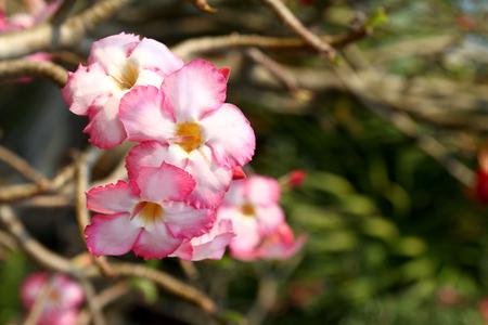 apocynaceae: Beautiful pink flower (Adenium obesum) Stock Photo
