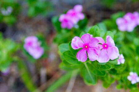 madagascar: Vinca, violet flower (Madagascar periwinkle)