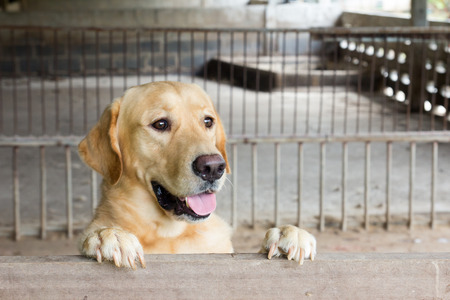 labrador teeth: Brown dog stood and wait over the cage