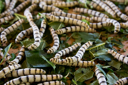 Group of silkworm in larva stage on background Stock Photo