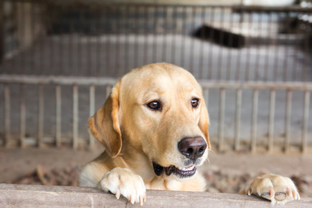 yellow teeth: Brown dog stood and wait over the cage Stock Photo